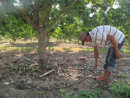 tưới nhỏ giọt quanh gốc cho cây xoài