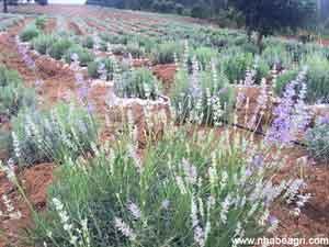 Tưới hoa Oải hương bằng ống tưới bù áp Rivulis Israel