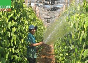 Chăm sóc vườn cà phê