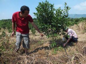 Anh Hưng đánh giá rất cao hiệu quả tưới nhỏ giọt cho cây Cam