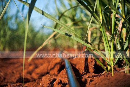 Tưới mía bằng ống tưới nhỏ giọt trải dọc luống