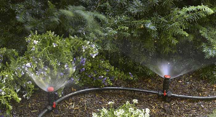 Thu hoạch hoa ly đúng vụ tết nhờ hệ thống tưới phun mưa