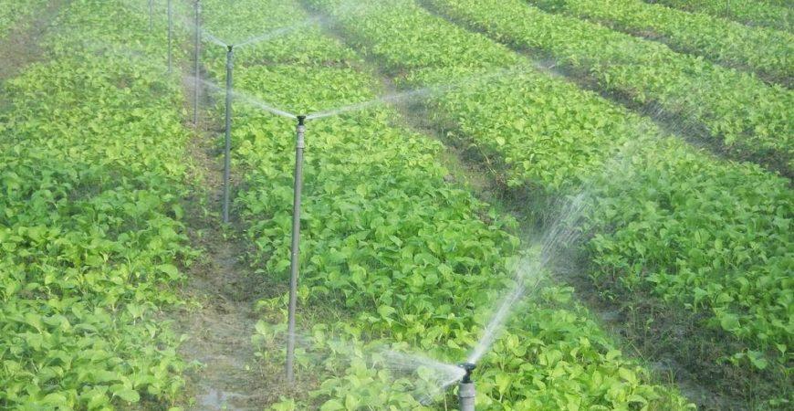 Công nghệ tưới phun mưa mang lại hiệu quả kinh tế cao
